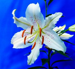 lily-227837_640