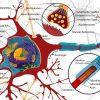 神経細胞(ニューロン)って何?増やし方は?:高齢者の脳トレの真髄